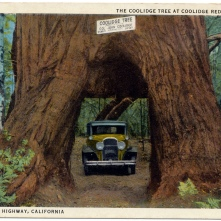 Coolidge Tree in Coolidge Redwood Park - Height 305 feet, circumference 58 feet. published by Edward A. Hess, Stockton 1931