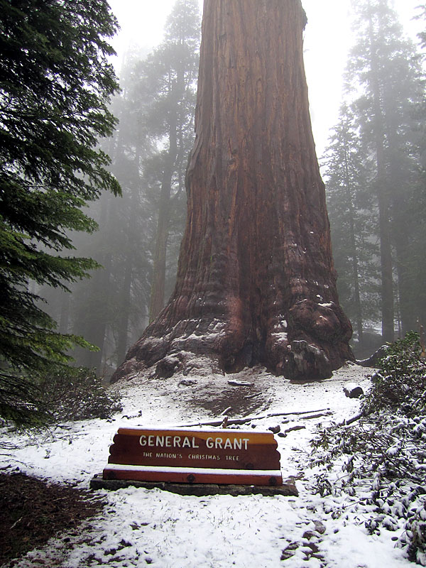 "The ""Nation's Christmas Tree"" in the middle of summer. The snow on the ground reminds us how aptly named it was by President Coolidge. It is here, in the beauty of America's sequoias that the Christmas Tree finds its most distinctive representation."