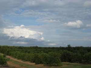 These orange groves met us on the way to Bok Tower. It reminds us of the drive through the oranges on Dedication Day told by Horace Herndon.