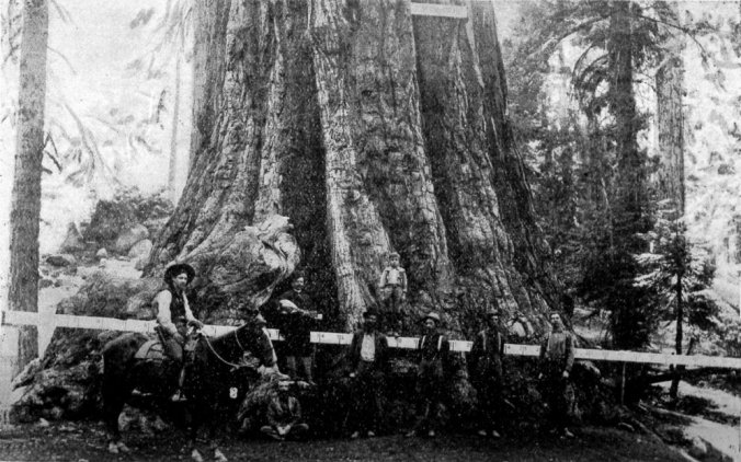 Base of the tree, photo taken in 1907.